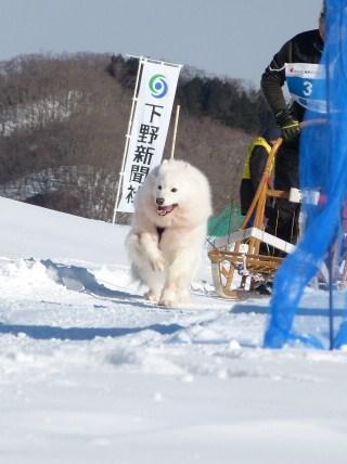 2013犬ぞり大会