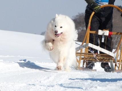 2013犬ぞり大会3