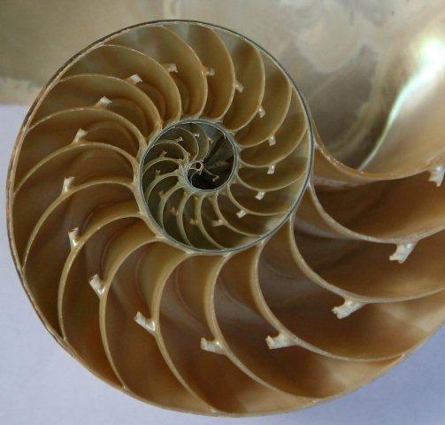 chambered_nautilus_shell__detail.jpg