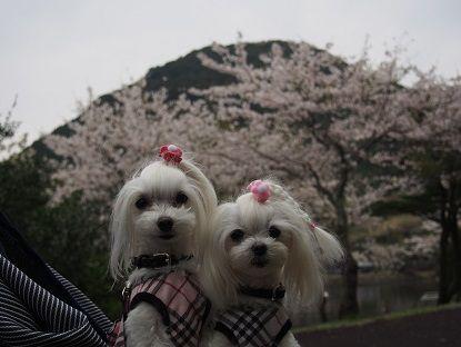 2013桜3