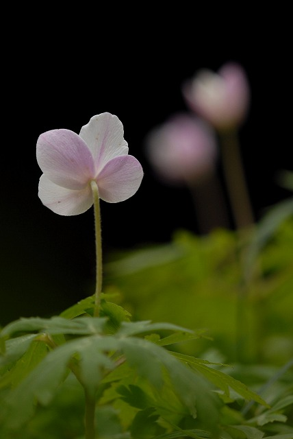イチリン草2