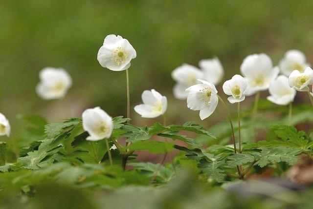 イチリン草6