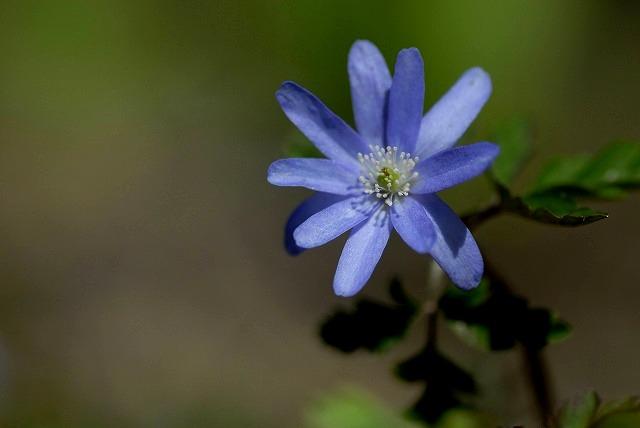キクザキイチゲ(ブルー)4