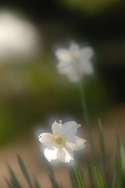 クチベニ水仙5
