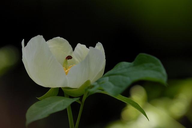 山芍薬6-1