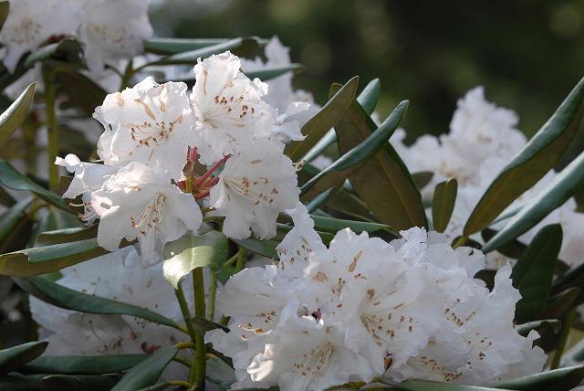 白い石楠花1