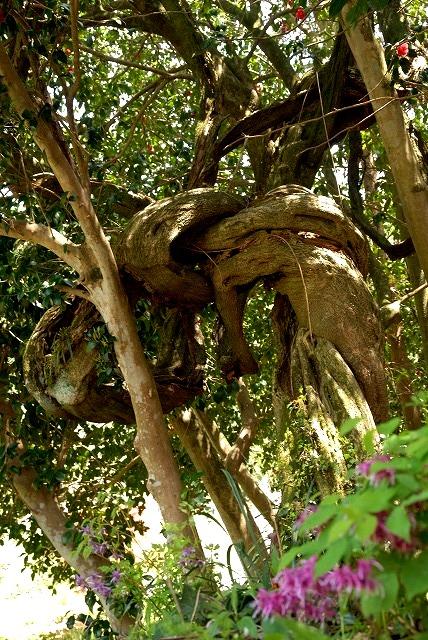 樹齢300年の藤
