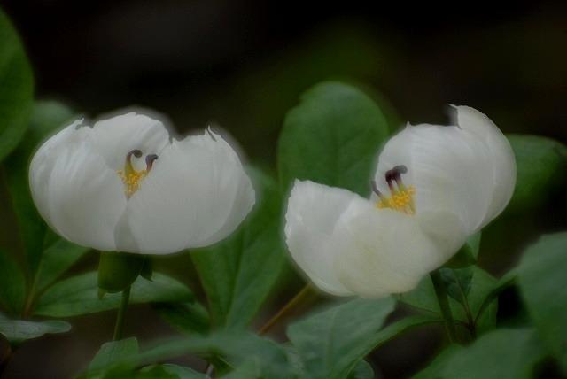 山芍薬4-2