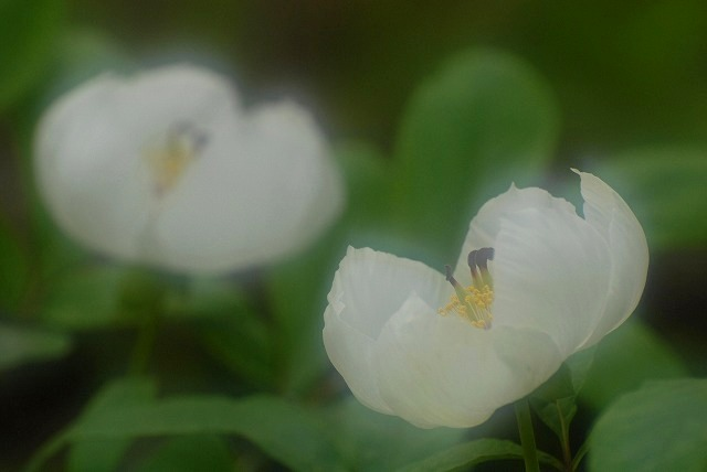 山芍薬4-3