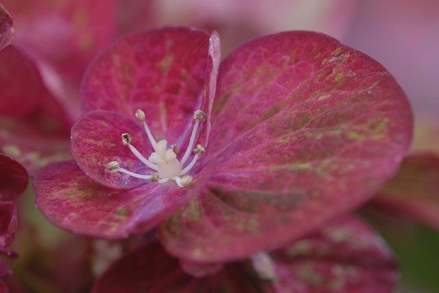 赤い紫陽花2