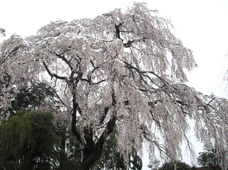 2010.4.27雪見桜3