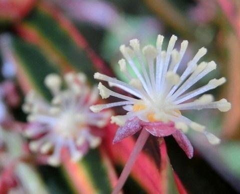 クロトンの花