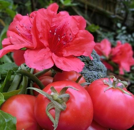 ツツジとトマト