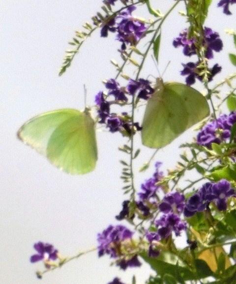 ハナレンギョと蝶