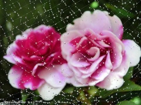 蜘蛛の巣と八重咲きインパチェンス