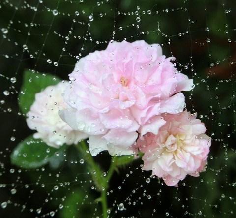 蜘蛛の巣とミニバラ