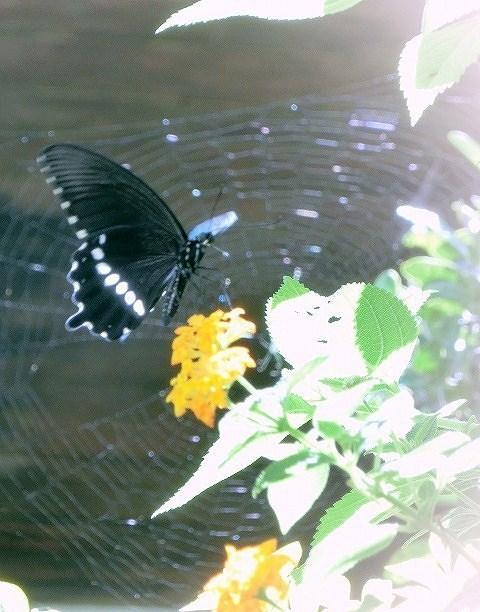 シロオビアゲハとクモの巣