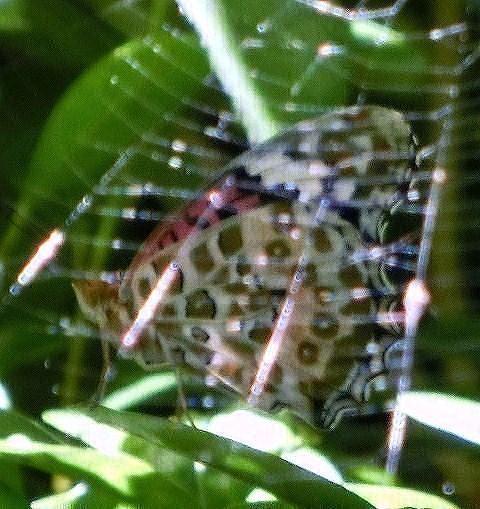 ツマグロヒョウモンとクモの巣