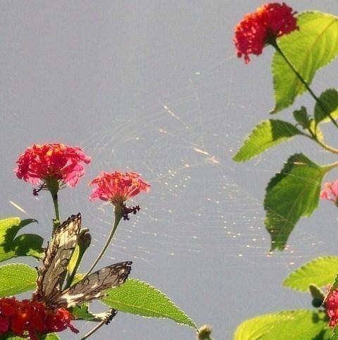 ランタナに蜘蛛の巣
