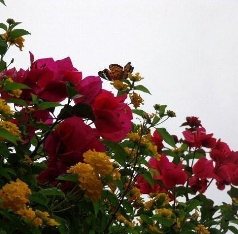花とツマグロヒョウモン