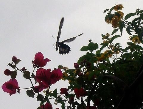 花とナガサキアゲハ