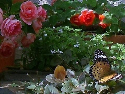 八重咲きインパチェンス...ツマグロヒョウモン