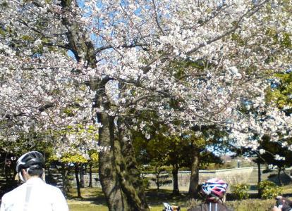 落合公園の桜