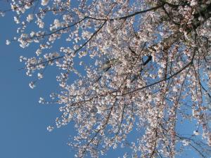 桜_convert_20120414225458