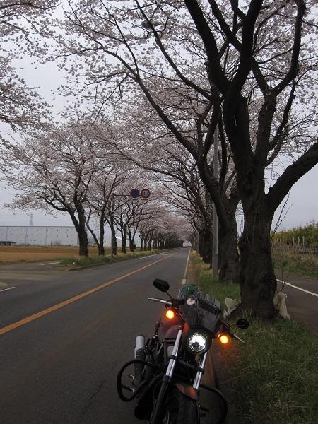 2013海軍桜2