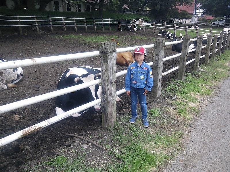 牛と触れ合う息子