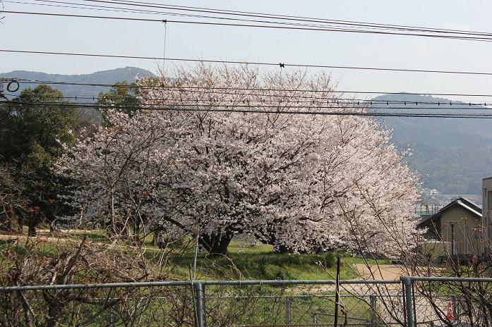 2013年桜5