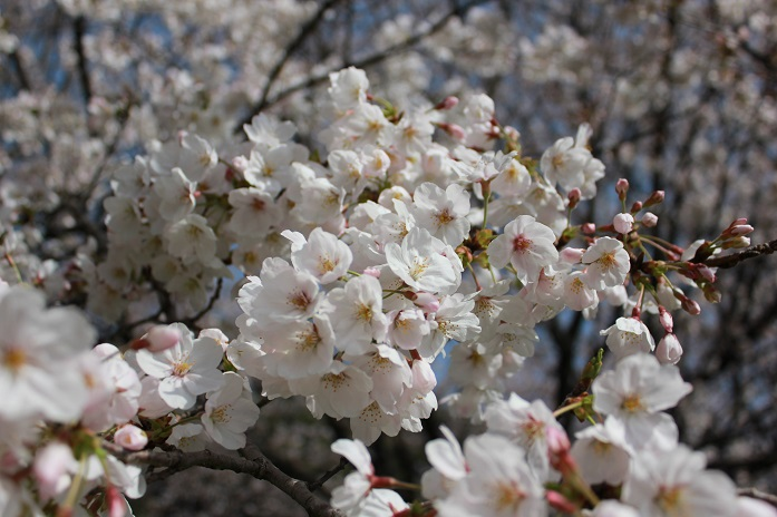 2013年桜4