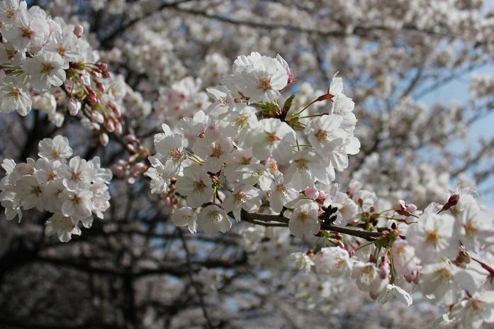 2013年桜3