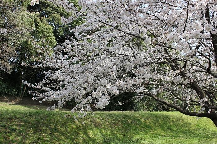 2013年桜2