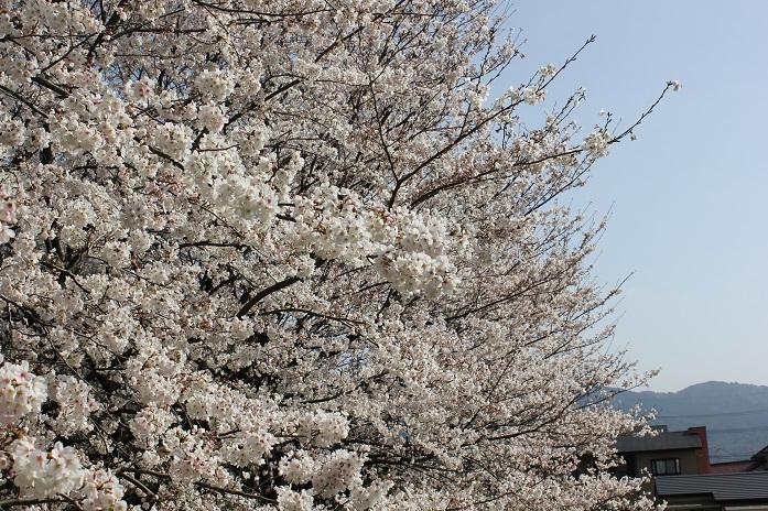 2013年桜1