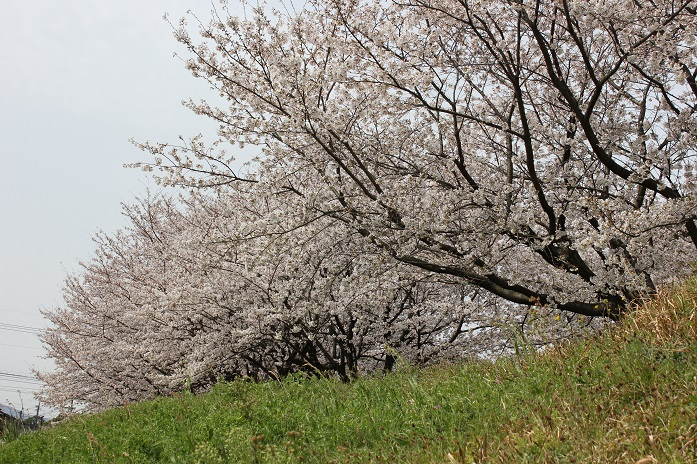 2013年桜10
