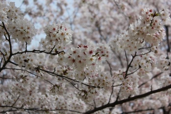 2013年桜11