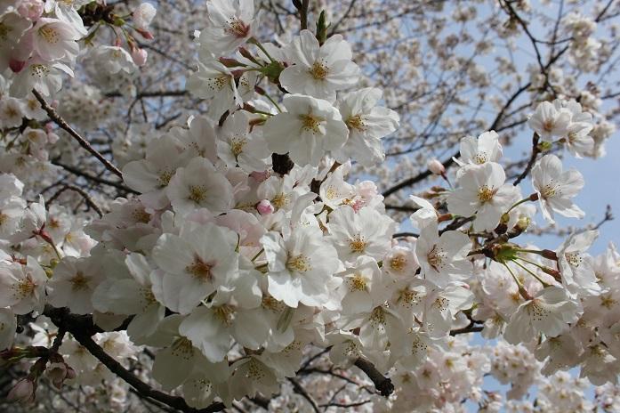 2013年桜9