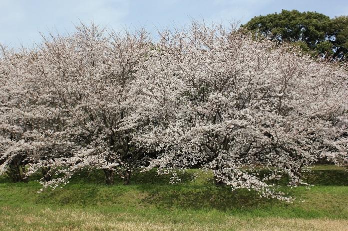 2013年桜8