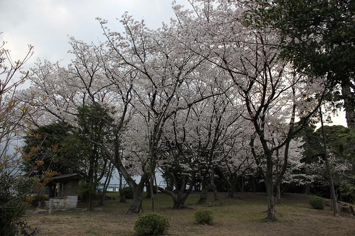 御神木に生えているヤマザクラ2013-4