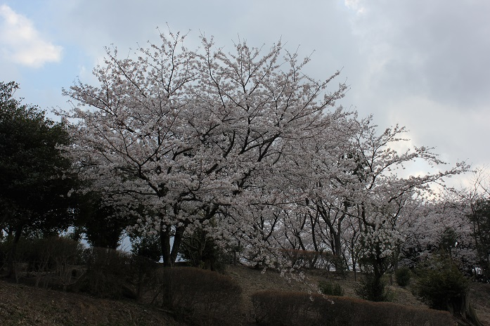 御神木に生えているヤマザクラ2013-3