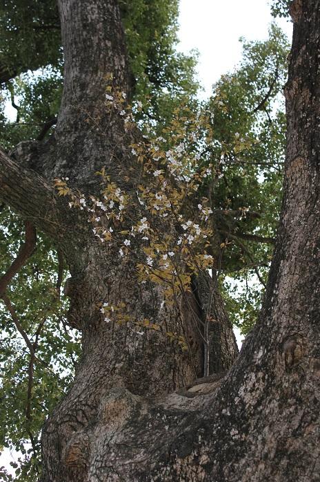 御神木に生えているヤマザクラ2013-2