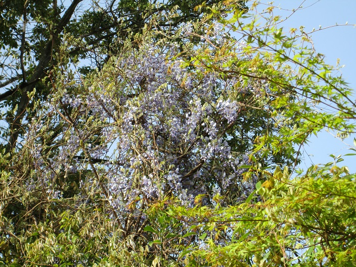 2013年藤の花・野生種2