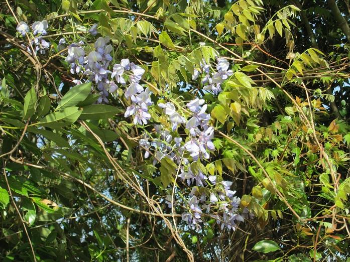 2013年藤の花・野生種1