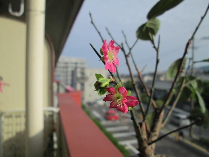 狂い咲き梅
