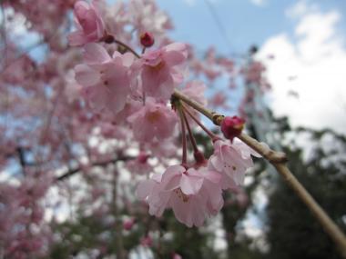 名古屋城桜②