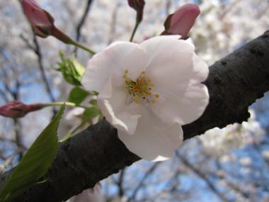 名古屋城桜③
