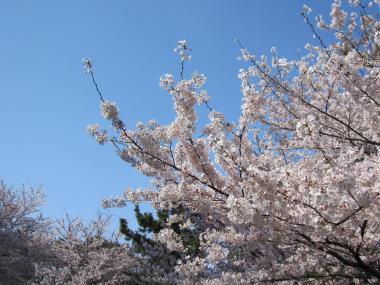 名古屋城桜④