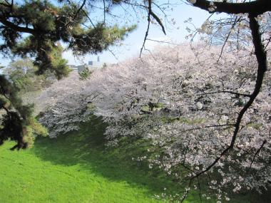 名古屋城桜⑤