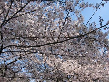 名古屋城桜⑦